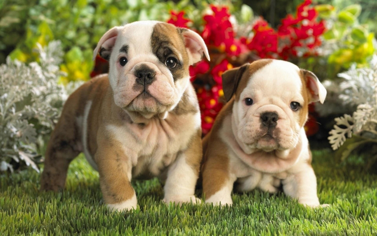 two bulldogs